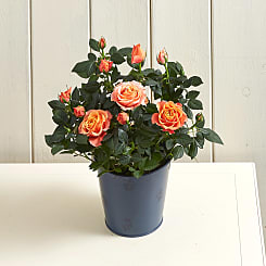Orange Rose  - Plants