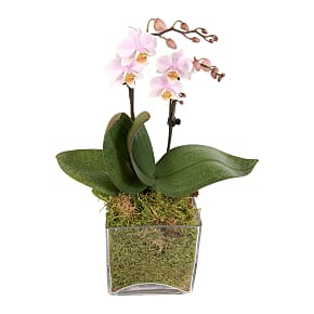 Plant arrangement Luxury Pink Orchid