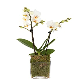 Plant arrangement Luxury White Orchid