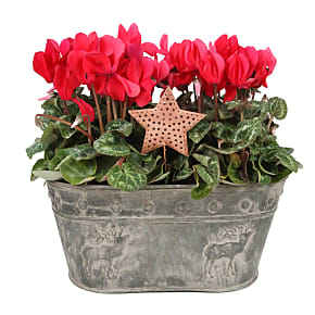 Plant arrangement Red Cyclamen Duo