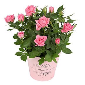 Bester Plant Arrangement Pink Pot Rose
