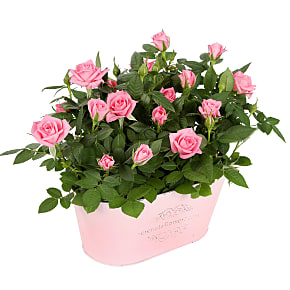 Plant arrangement Pink Rose Duo