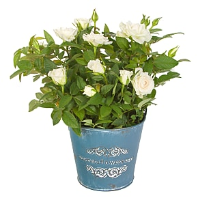 Plant arrangement White Pot Rose
