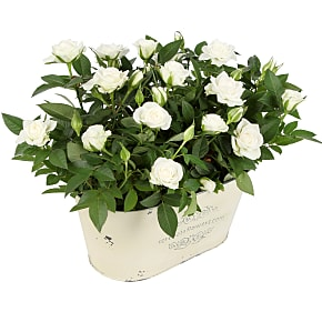 Plant arrangement White Rose Duo
