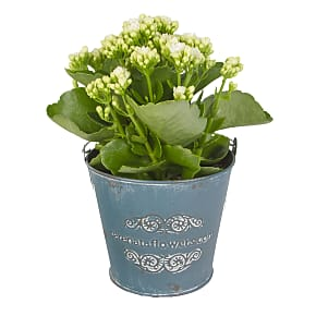 Plant arrangement White Kalanchoe