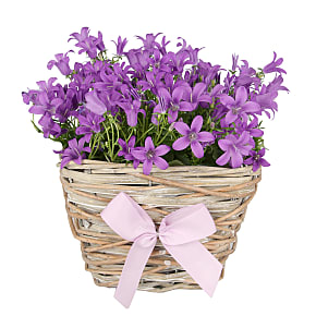 Plant arrangement Campanula Basket