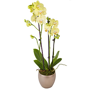 Plant arrangement Yellow Phalaenopsis Orchid