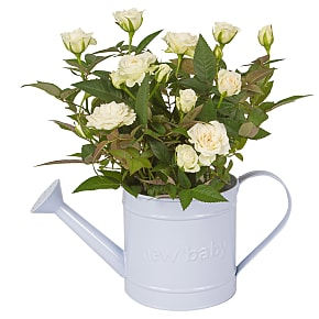 Plant arrangement Baby Boy Rose Gift