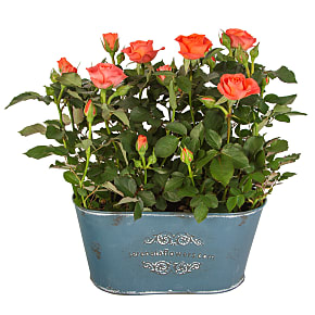 Plant arrangement Orange Rose Duo