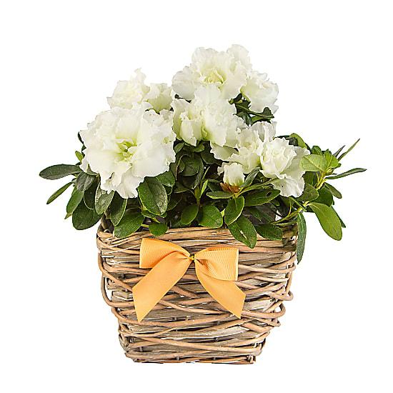 White Azalea Basket for Christmas