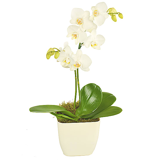 Same Day Delivery - White Potted Orchid