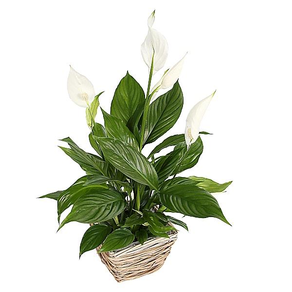 Plant Lily Basket