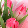 Pink tulips in giftbag