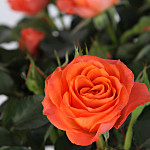 Orange Pot Rose