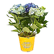 Blue Hydrangea in zinc pot