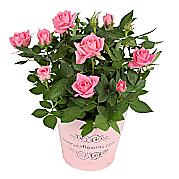 cheap office plants. pink pot rose cheap office plants e