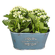 Plant arrangement White Kalanchoe Duo