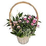 Buy Plants Online  Garden  Indoor Plants  Serenata Flowers
