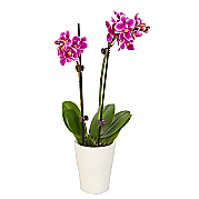 Plant arrangement Mini Orchid
