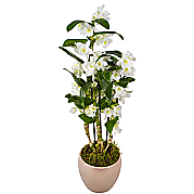 Dendrobium Orchid in pink pot