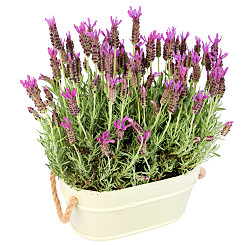 Plant arrangement Lavender Duo