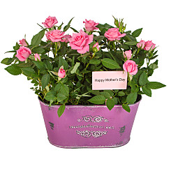 Plant arrangement Mother's Day Pink Rose Duo