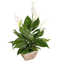 Plant arrangement Peace Lily Basket