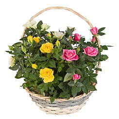 Plant arrangement Mixed Rose Basket