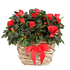 Plant arrangement Red Azalea Basket