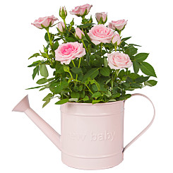 Plant arrangement Baby Girl Rose Gift