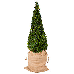 Plant arrangement Pyramid Buxus