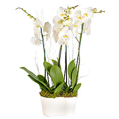 Plant arrangement Winter Orchid Planter