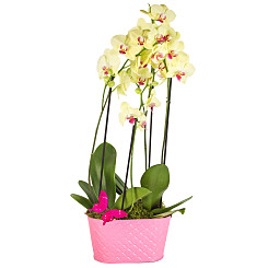 Plant arrangement Butterfly Orchids