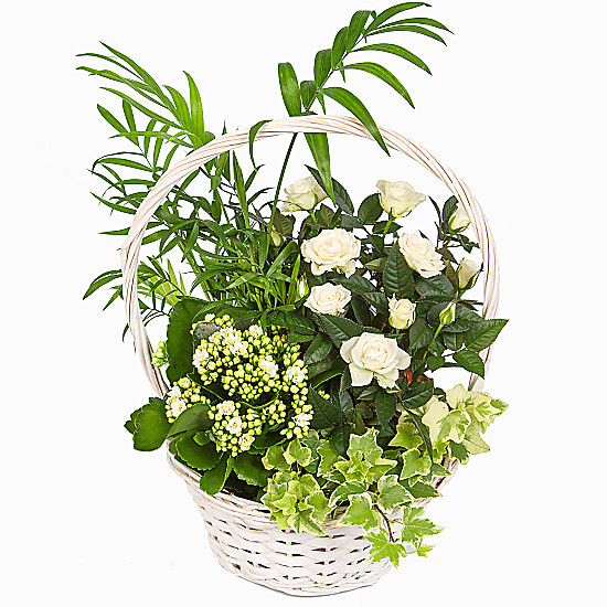 Serenata Flowers White Blooms Basket Picture