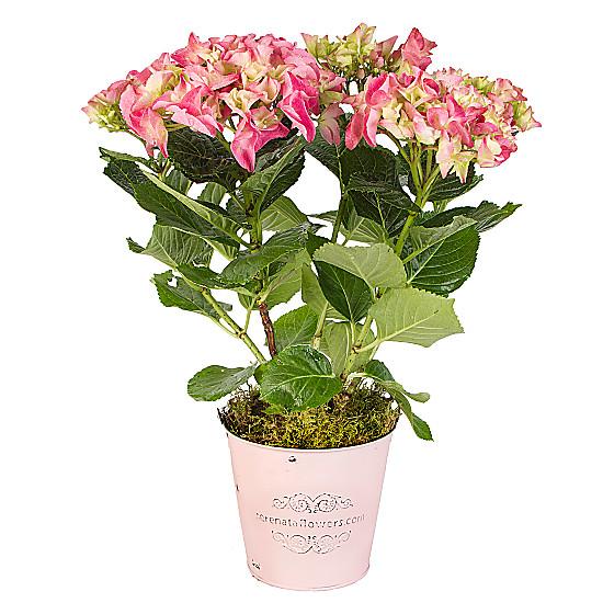Serenata Flowers Pink Hydrangea Picture
