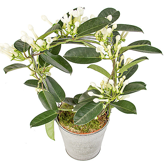 Serenata Flowers Stephanotis Hoop Picture