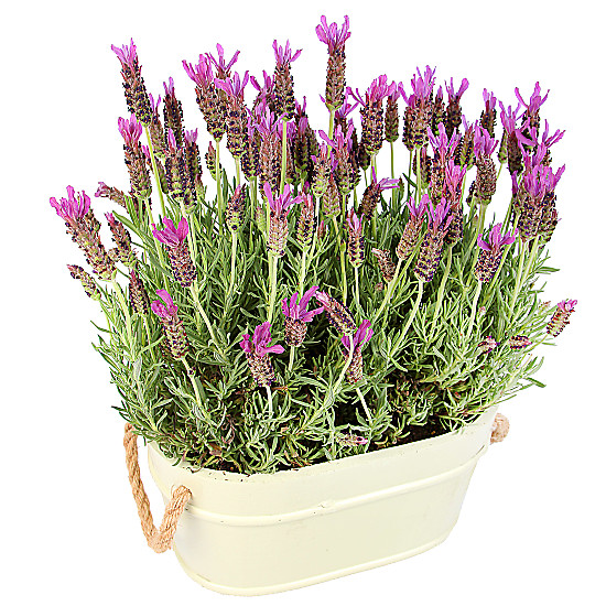 Serenata Flowers Lavender Duo Picture