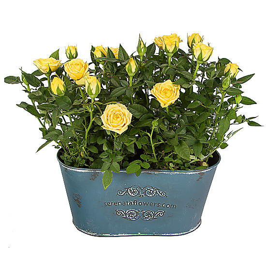 Serenata Flowers Yellow Rose Duo Picture