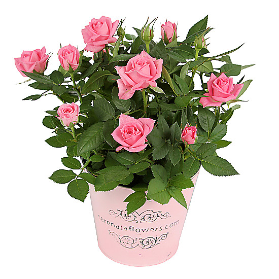 Serenata Flowers Pink Pot Rose