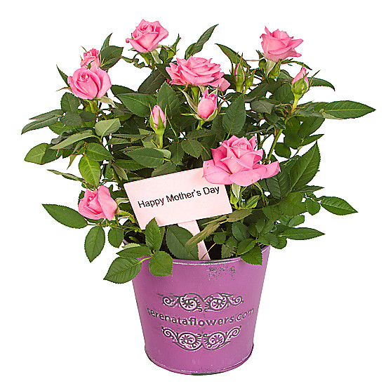 Serenata Flowers Mother's Day Pink Rose Picture