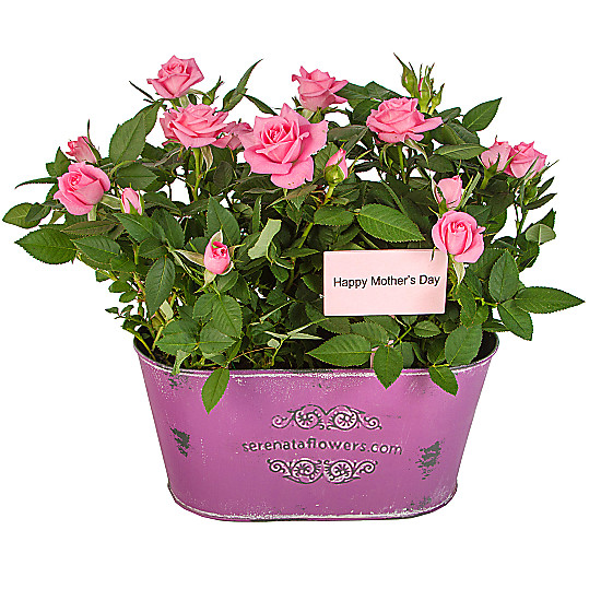 Serenata Flowers Mother's Day Pink Rose Duo Picture