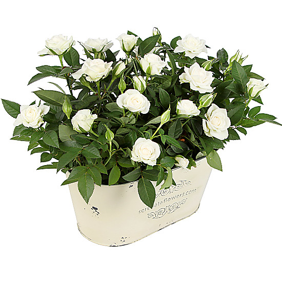 Serenata Flowers White Rose Duo Picture
