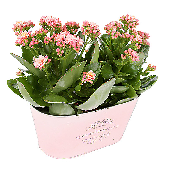 Serenata Flowers Pink Kalanchoe Duo Picture