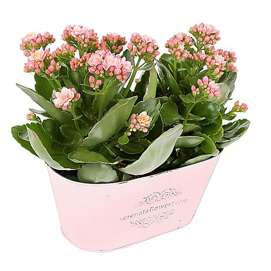 Serenata Flowers  Pink Kalanchoe Duo