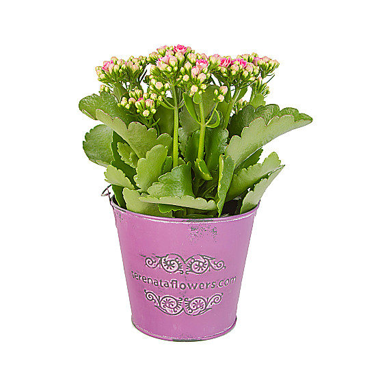 Serenata Flowers Pink Kalanchoe Picture