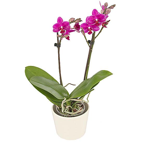 Serenata Flowers Midi Orchid Picture