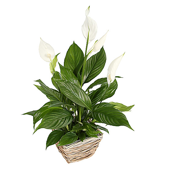Serenata Flowers Peace Lily Basket Picture