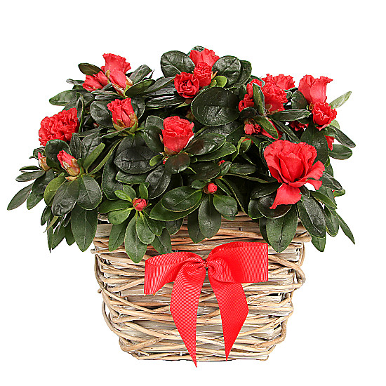 Serenata Flowers Red Azalea Basket Picture