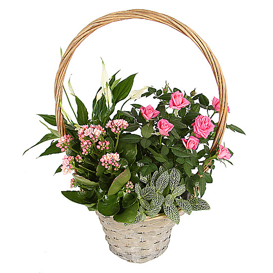 Serenata Flowers Pink Blooms Basket Picture