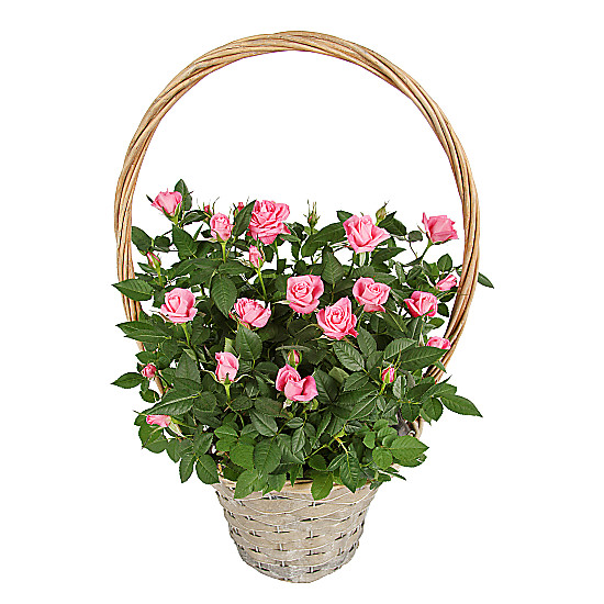 Serenata Flowers Pink Rose Basket Picture